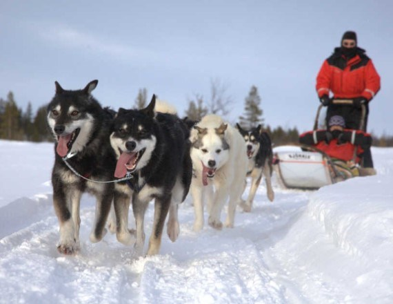 Husky team pulling in the snow