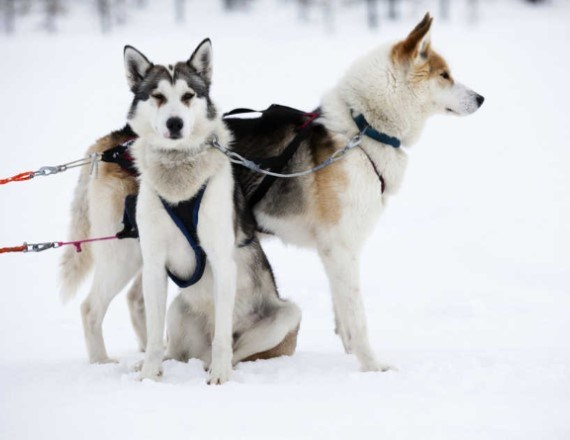 Huskies standing in the snow